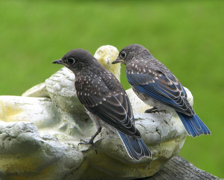 bluebird_fledgling_3728.jpg