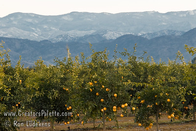 Orchard #3 - with Sierra Nevada Range behind