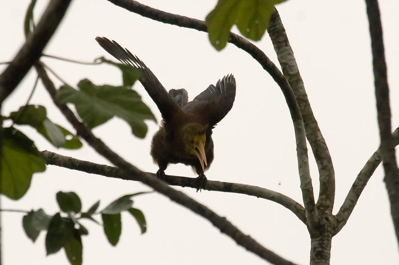 Russet-backed Oropendola (1) at Cocha Camungo near Manu Wildlife Center, Peru (2008-07-09).psd