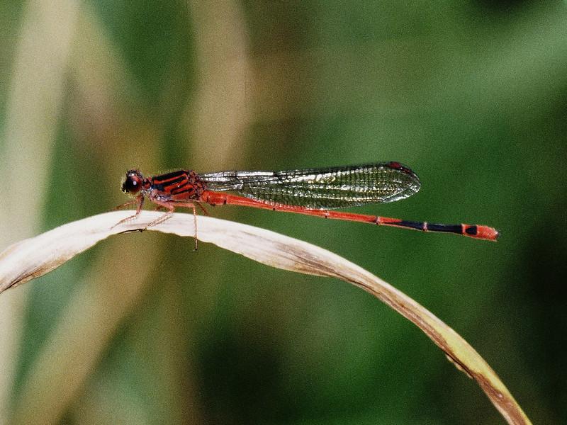 Megalagrion heterogamias (Coenagrionidae), Alakai (Kauai)