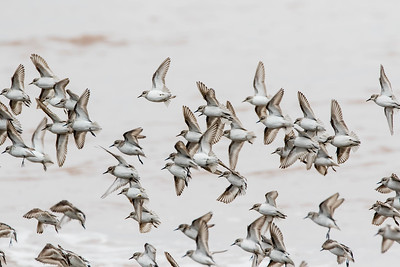 Migrating Sandpipers