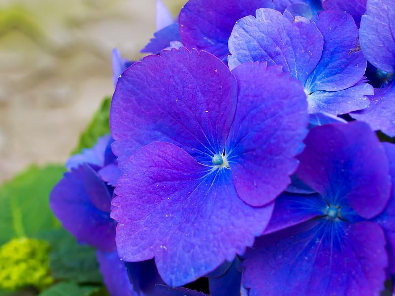 PurpleHydrangea.jpg