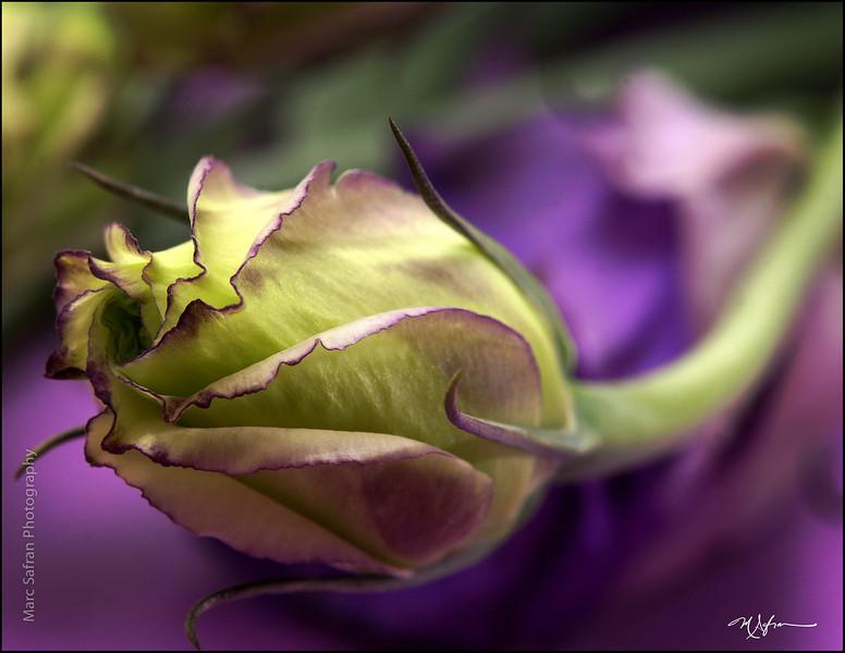 Flower_Lisianthus_Bud_CU.jpg