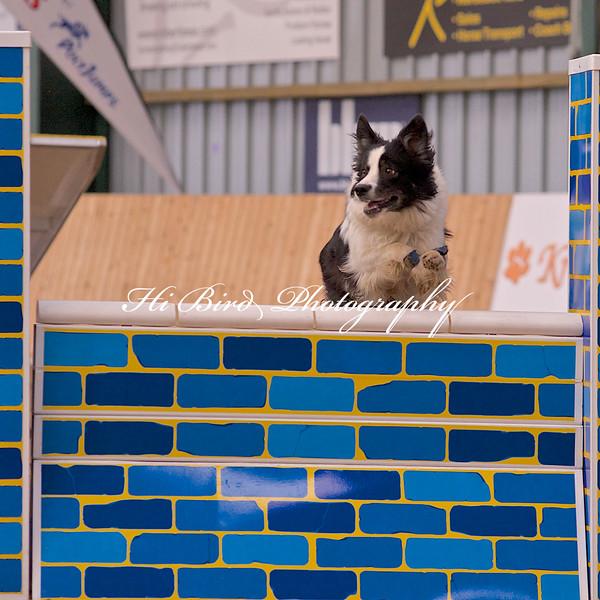 medium dog agility 1175.jpg