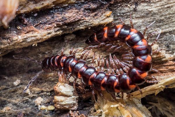 Flat-backed millipedes (Polydesmida)