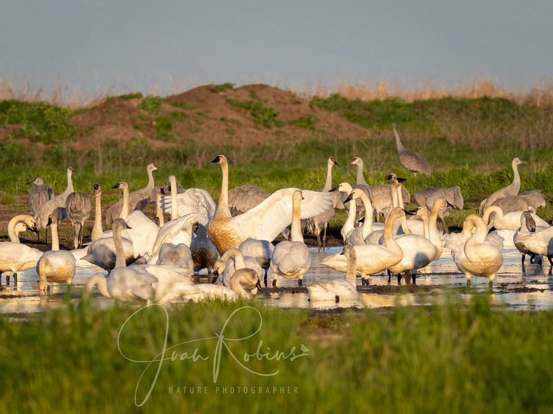 Tundra Swans with Sandhill Cranes