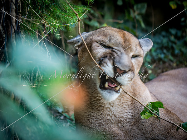 Cougars playing