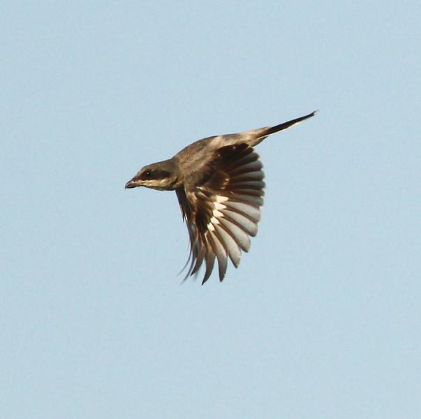 Loggerhead Shrike  Saltn Sea California 2011 09 04-3.JPG-1.JPG