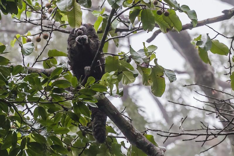 Napo Wildlife Center - Napo Saki Monkey - Lina Stock