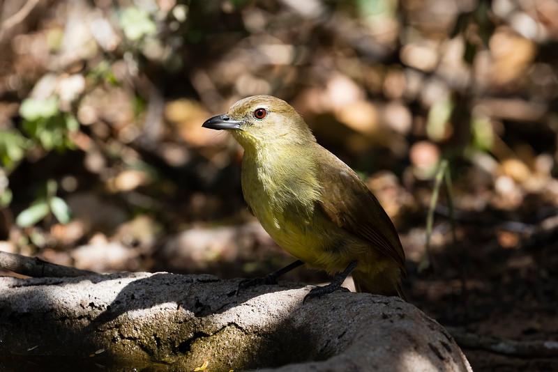 Yellow-bellied Greenbul