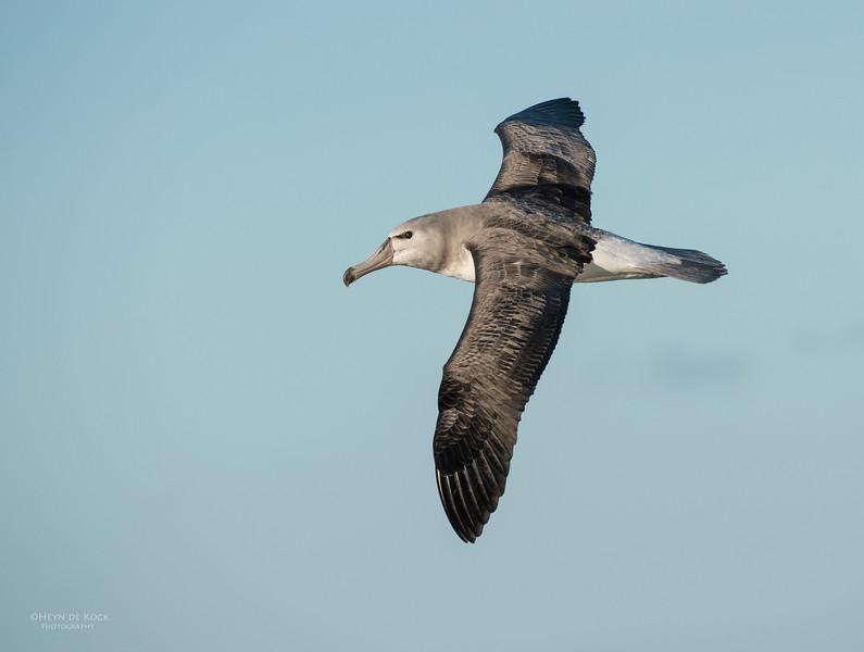 Shy Albatross, Wollongong Pelagic, NSW, Aus, Jul 2013.jpg
