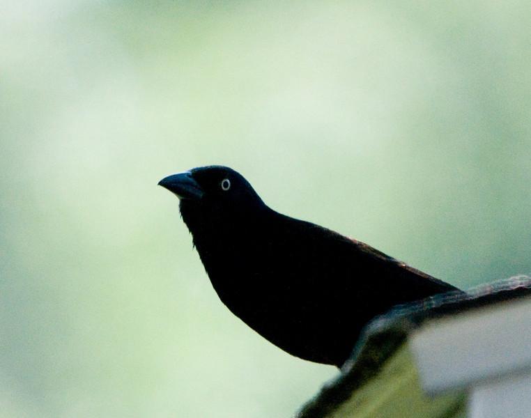 Backyard Birds B