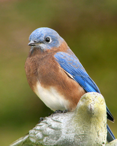 bluebird_9033.jpg