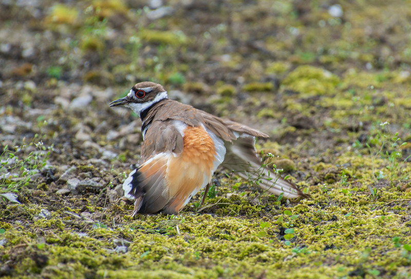 Killdeer-brokenwingdisplay-Krumroy.jpg