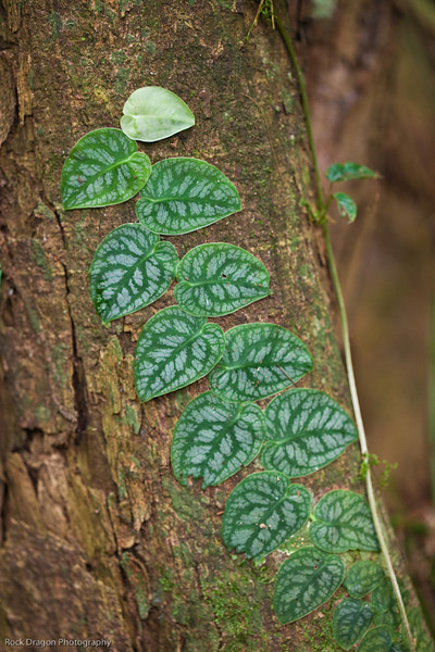 A vine growing up a tree in the rain forest of Peru.