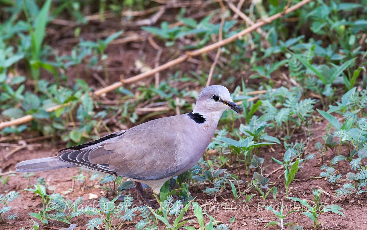 Ring-necked Dove, Lake Manyara, Tanzania