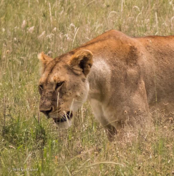 Lions Serengeti - K-5.jpg