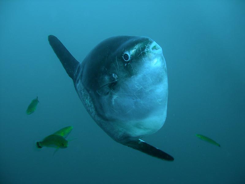 Mola mola and friends