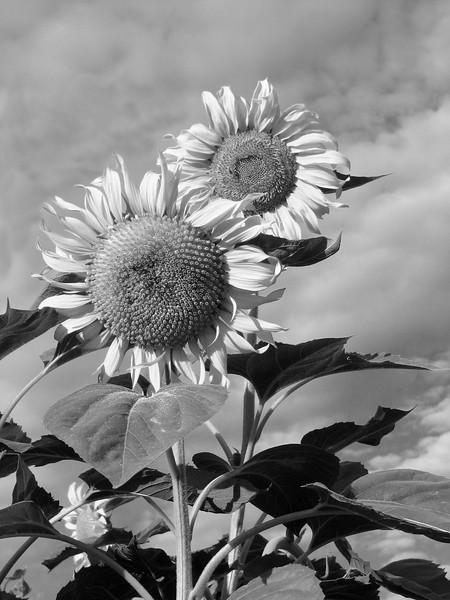 amh FLOWERS (1923).jpg