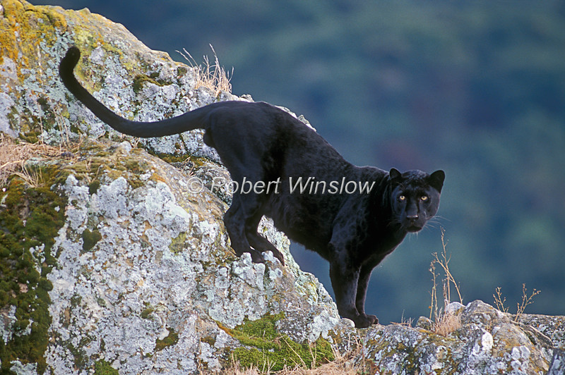 Leopards - Black Leopard