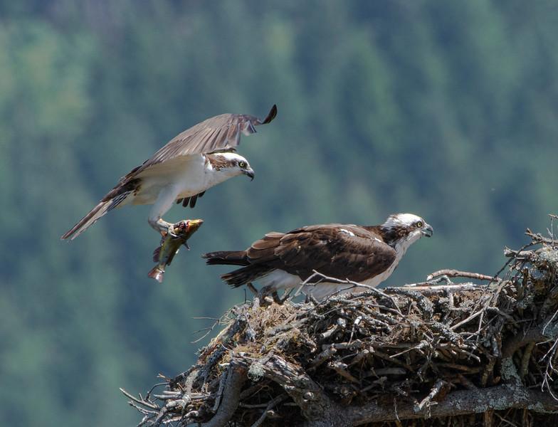 Osprey Delivery