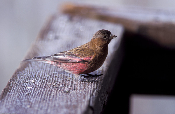 FINCHES AND OLD WORLD SPARROWS