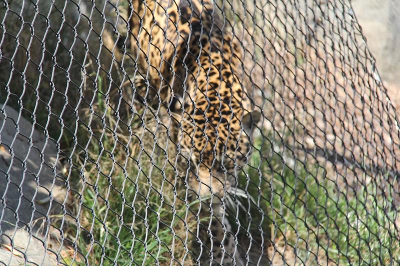20170807-082 - San Diego Zoo - Leopard.JPG