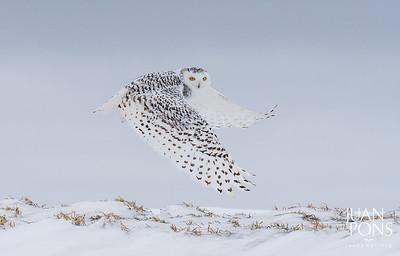 SnowyOwls
