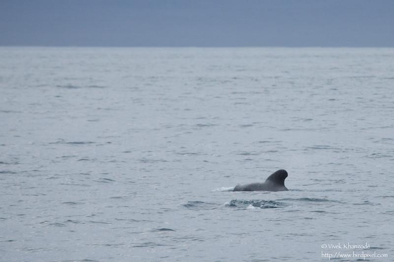 Short-finned Pilot Whale - Punta Vicente Roca, Isla Isabela, Galapagos, Ecuador