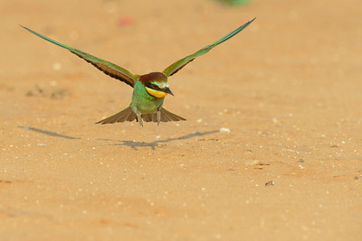 Bee-eater & Ant