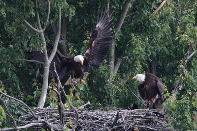 Huntingburg Eagle Nest - May 19