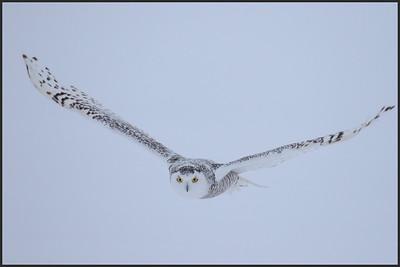 2017-01-10 Snowy owl trip