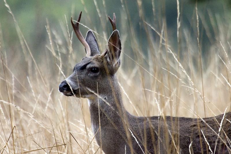 Blacktailed deer, Point Reyes, 09.23.07