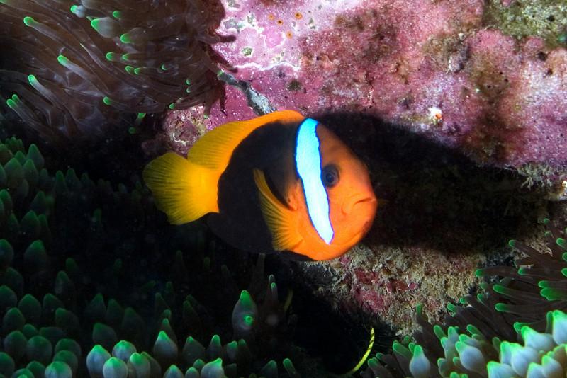 Clalrk's Anenome Fish 4.jpg