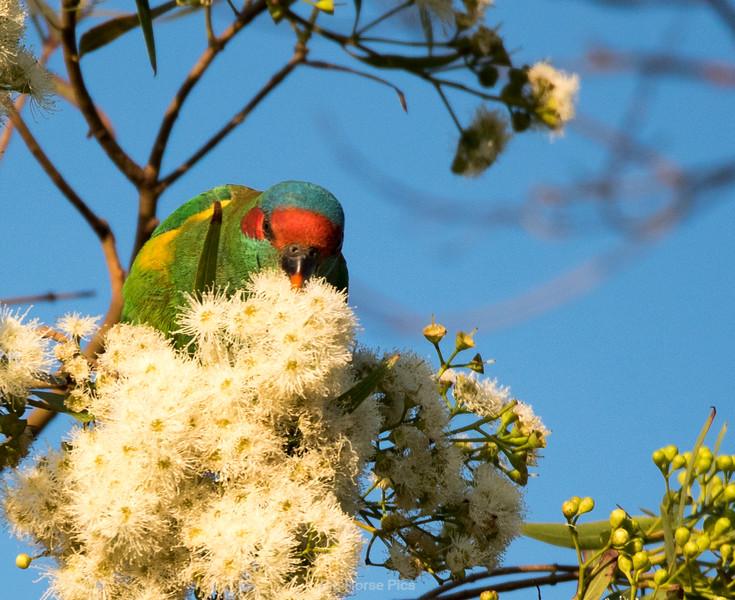 Cronulla parrots 1.jpg