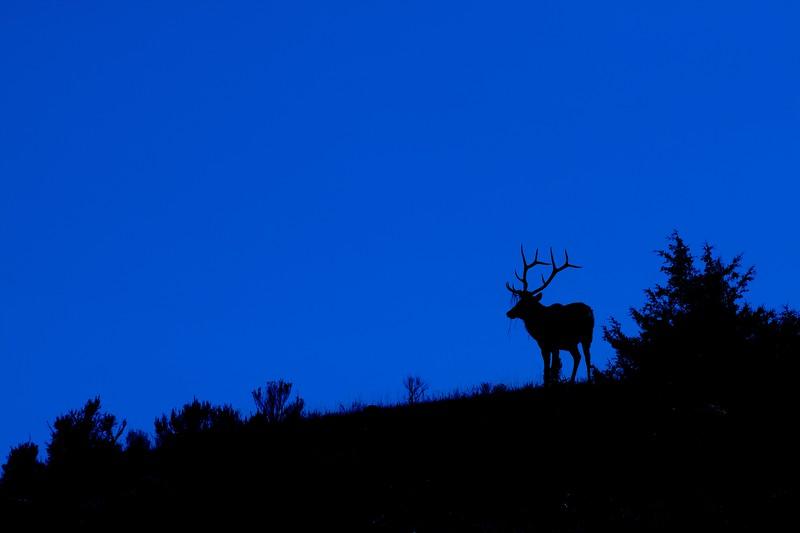 Elk blue silhouette Yellowstone WY IMG_0001705.jpg