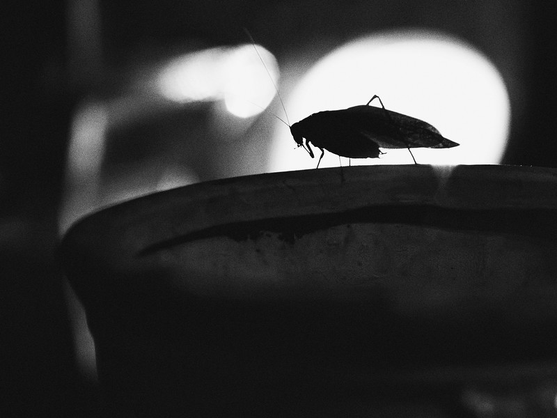Katydid in Silhouette
