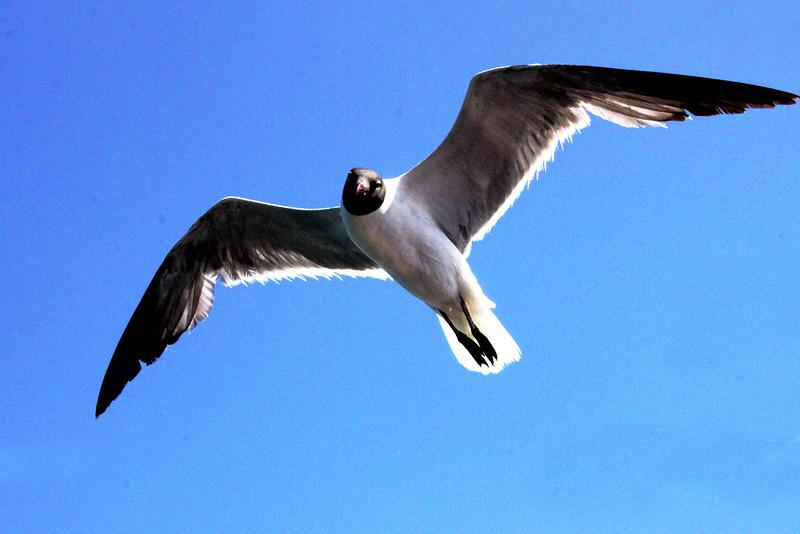 IMG_0206 new laughing gull 1.jpg