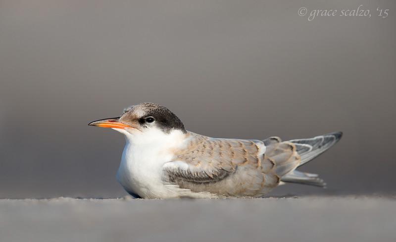 Common Tern Juvenile Resting