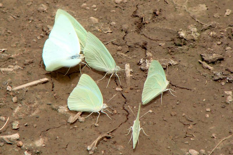 Catospsilia florella (African Emigrant) 36.