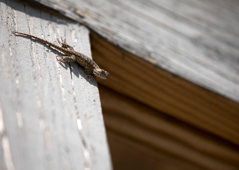 Eastern Fence Lizard (Sceloporus undulatus)
