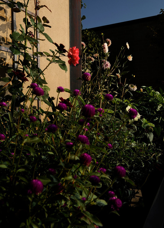 . Trimpa maximizes his planting space by using trellises, such as the one for this rose, up against his penthouse\'s walls. (Cyrus McCrimmon, The Denver Post)