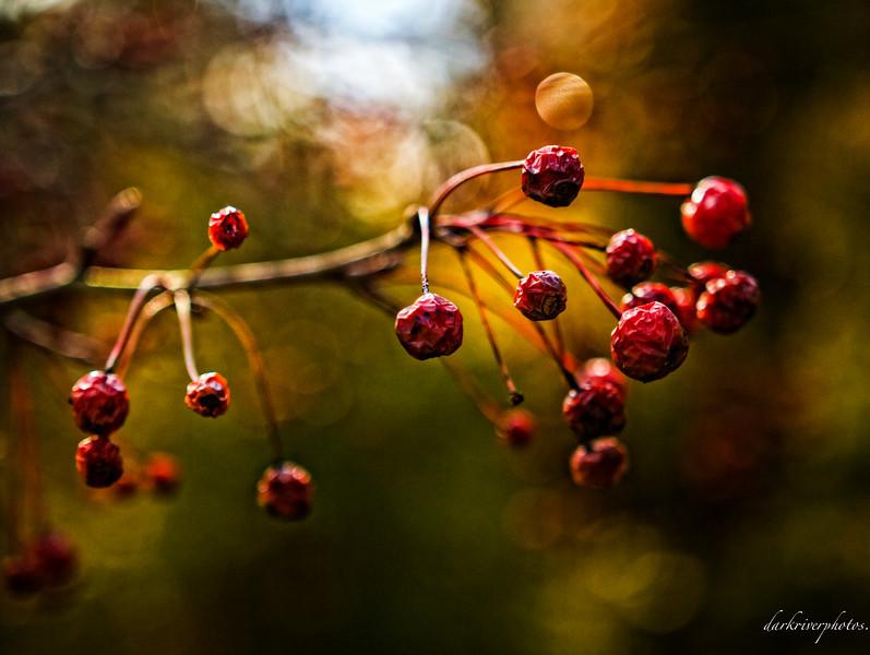 Red Berries_-2.JPG