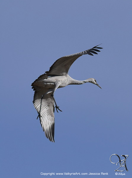Sandhill Crane Landing