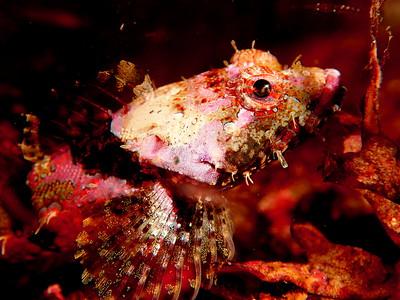 Artedius corallinus (coralline sculpin)
