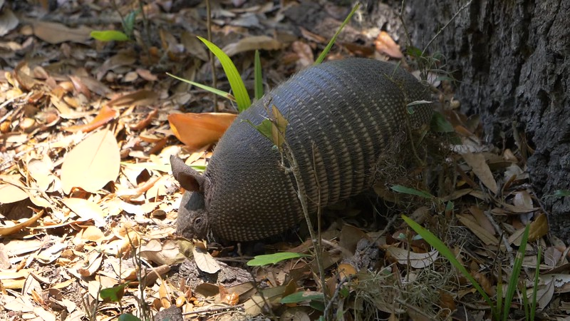 Armadillo Digging in Leaves