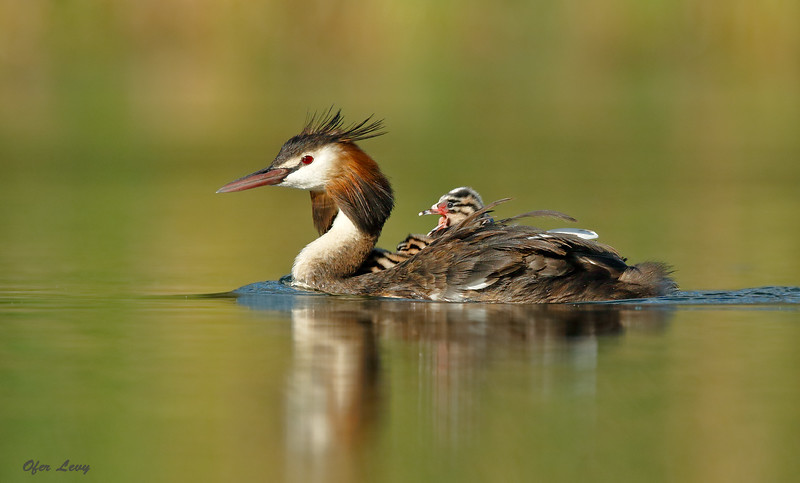 Great-crested Grebe 3.jpg