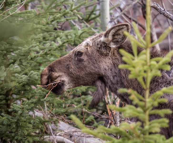 Moose calf Yellowstone National Park WY IMG_7187.jpg