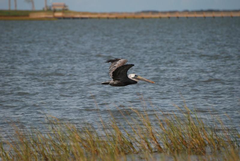 Brown Pelican, TX
