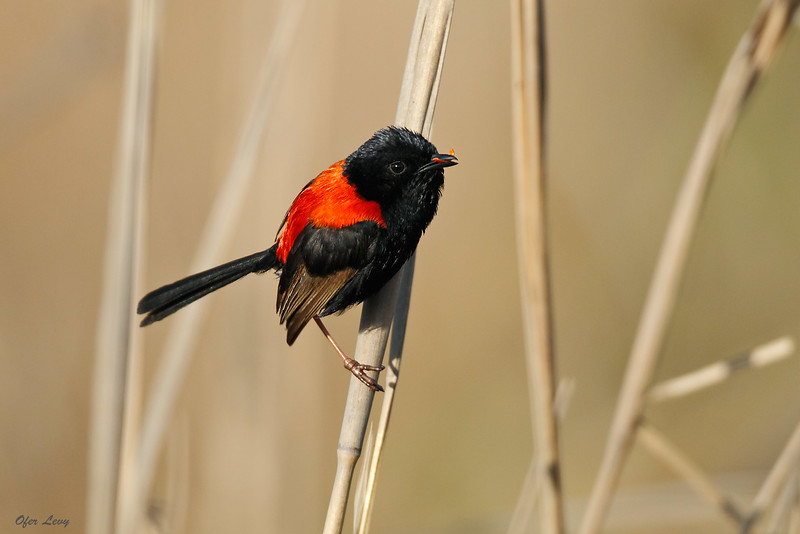 Red-backed Fairy Wren.jpg